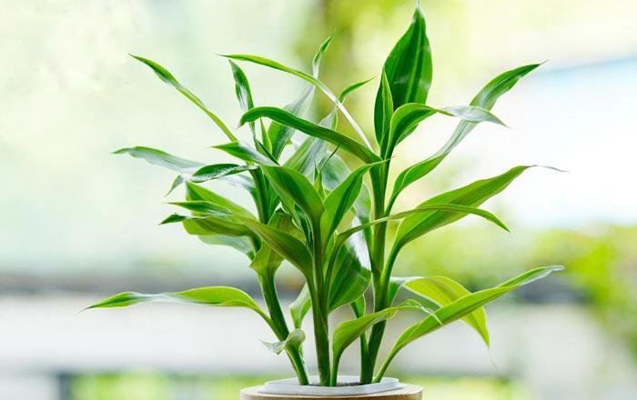 盆栽富贵竹的养殖方法和注意事项介绍