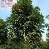 大量供应10公分桂花树,合欢树,栾树