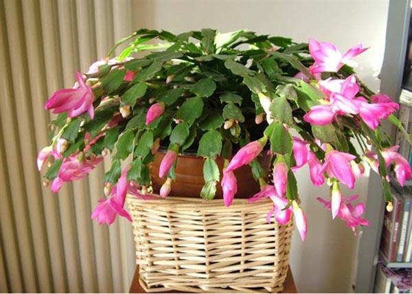 蟹爪兰物如其名,是一种很惹人喜爱的植物。蟹爪兰有很多别名,各地叫法不一,例如蟹爪莲、仙指花、接骨兰、圣诞仙人掌等,是常绿多年生花卉。一般开花在冬季节日期间,花朵娇柔婀娜,光艳亮丽,特别受中国人的喜爱和追捧,逐渐成为近年来隆冬季节一种非常优秀的室内盆栽花卉。 蟹爪兰图片欣赏
