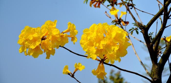 黄花风铃木图片|风铃木行道树什么时候开花?