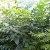 超低价处理青檀树