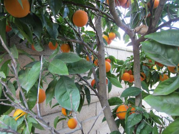 苗圃柠檬树的种植方法|柠檬树的养殖注意事项