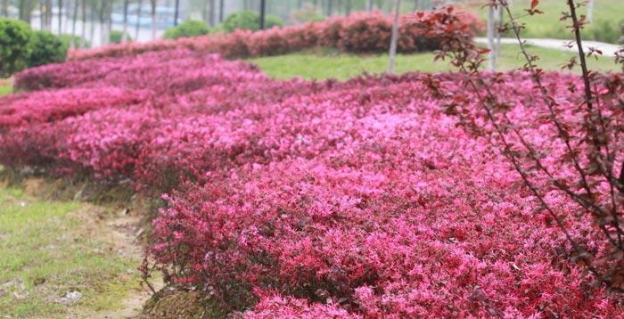 湖南红花继木小苗
