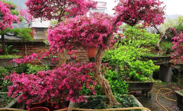 红花继木盆景