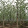 银杏苗圃直销银杏树,银杏树价格咨询