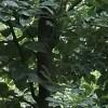 8~33大叶樟(熟货)