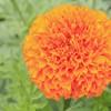 供应LVXIN牌万寿菊花卉种子