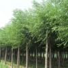 行道树绿化  垂柳