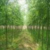 河北旱柳供应优质旱柳苗