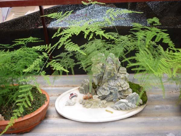 文竹盆景造型技巧讲解 文竹叶子发黄怎么办