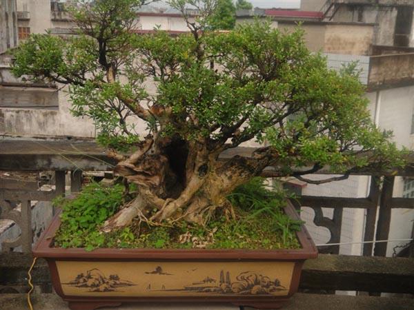 珍珠黄杨树桩盆景制作方法|黄杨木盆景怎么养护
