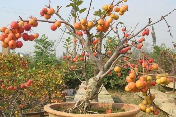 果树盆栽与盆景在我们现代生活中是比较常见的植物装饰之一,而且这种装饰不必一般的装饰物,需要大家仔细照料,所以在制作和养护的过程中大家就需要好好注意才是。在很久之前,果树盆栽就已经出现在人们的生活里了,不过在过去人们更多的是将其视为一种果树的繁殖,希望在未来能够摘下果树结下的果子,但是今天这种盆栽更多是作为一种盆景存在在人们的家居中,主要是作为一种观赏物,用来装饰家居使用的。那么这个果树盆栽盆景该如何制作和养护呢?下面我们就一起来看看果树盆栽与盆景制作及养护注意事项。