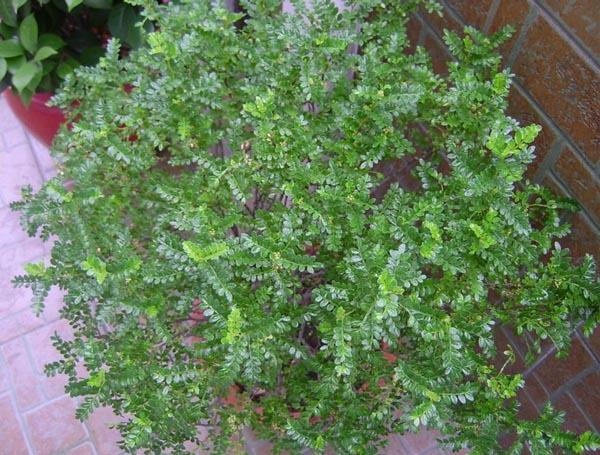 盆栽清香木怎么养|野生清香木的养殖方法和注意事项