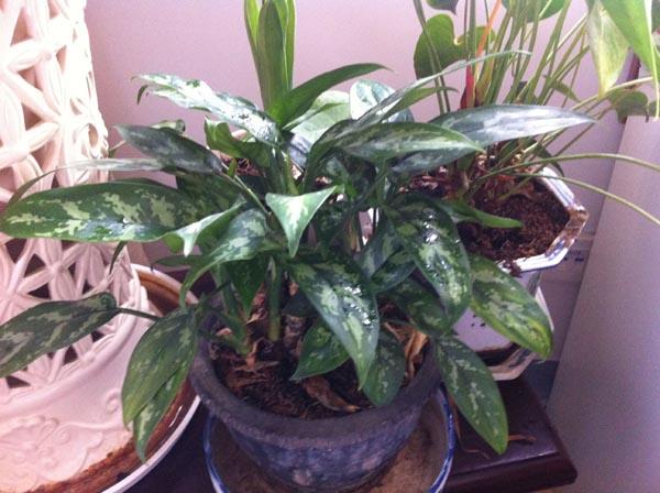 黑美人植物盆栽