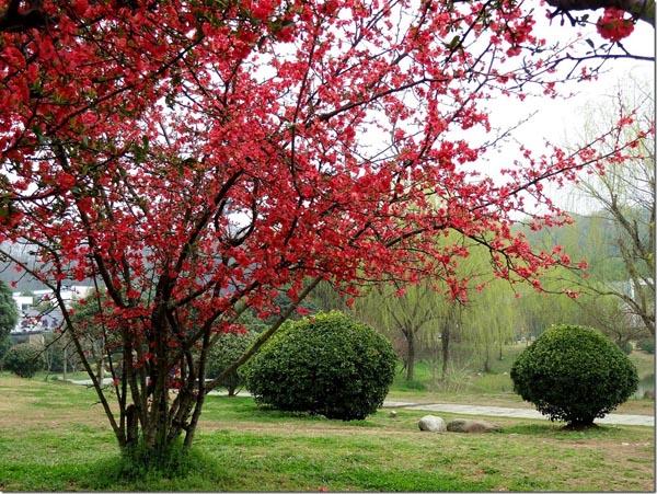 秋海棠图片欣赏