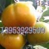 低价供优质桃苗、柿子苗