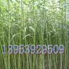 低价供优质杞柳、种条、苗