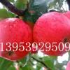 低价供优质矮化苹果苗