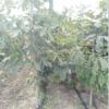 七叶树优质小树苗