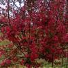 低价供优质北美海棠苗木100万棵