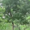 3公分榆树价格 4公分榆树价格