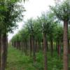 涑源苗圃大量供应油松,白皮松,核桃苗,海棠,国槐等优质苗木