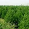 大量供应李子松,油松,白皮松,国槐等优质苗木