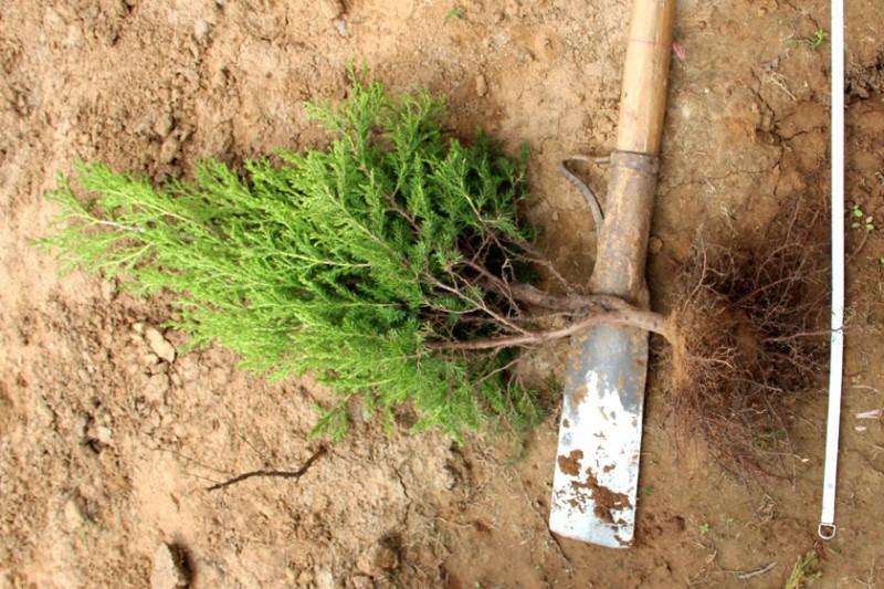 50cm高的蜀桧根部图片