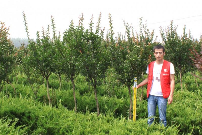 百日红苗木图片