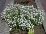 香雪球的种植方法 黄花香雪球种子什么时候播种