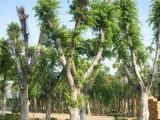 小叶榕盆景怎么造型养护 小叶榕的养殖方法与种植管理技术