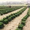 湖南郴州马尼拉草皮种植基地