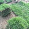 江西供应马尼拉草皮|草坪|绿化苗木|供应信息