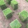 马尼拉草皮22*22规格多少钱一平方?