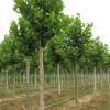 法桐河北苗圃园林绿化树行道树