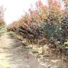 河北彩叶树紫叶李行道树园林绿化