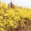 河北彩叶树金叶国槐行道树园林绿化
