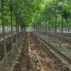 河北沧州白蜡苗木基地绿化树园林