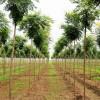 河北彩叶树基地栾树园林绿化树