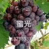浙江葡萄苗/金华葡萄苗/新品种葡萄苗
