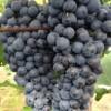 吉林哪有卖葡萄苗的、出售茉莉香葡萄苗专业繁育基地