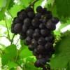 白山蜜汁葡萄苗、松原夏黑葡萄苗、出售四平京亚葡萄苗