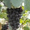 长春哪有卖葡萄苗的、通化、白城出售金红娃葡萄苗厂商