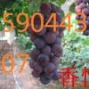 大连葡萄苗出售着色香葡萄苗、辽阳哪有卖京亚葡萄苗的