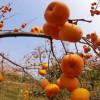 甜柿苗,石榴苗,板栗苗,山楂苗,花椒苗,枣树苗。