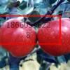 矮化维纳斯黄金苹果苗,维纳斯黄金苹果苗价格