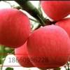 矮化烟富0苹果苗,烟富8苹果苗,烟富3苹果苗