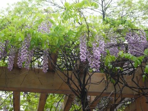 廊架 紫藤手绘图