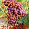哈尔滨哪有卖葡萄苗的、绥化、鸡西、佳木斯、牡丹江蜜汁葡萄苗