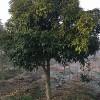 桂花树和丹桂苗清仓处理